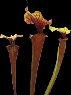 "F2 GC  Sarracenia flava var. rubricorpora ""Yellow lid"""