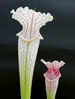 L19 GC  Sarracenia leucophylla