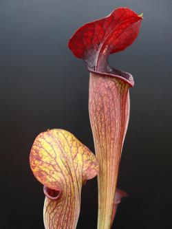 "A1 GC Sarracenia alata var. nigropurpurea ""Black wings""  A28 MK x A60 MK"