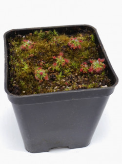 Drosera occidentalis breviscapa
