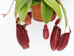 """Nepenthes """" Bloody mary """""""