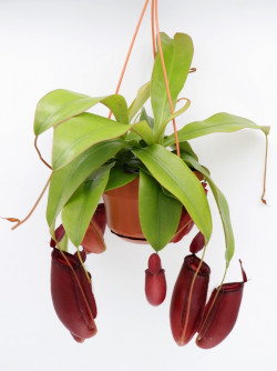 "Nepenthes "" Bloody mary """