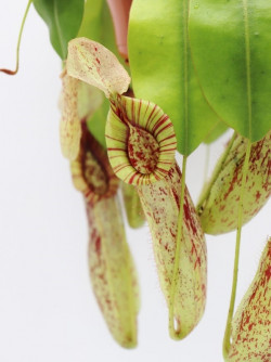 "Nepenthes ""Mojito"""