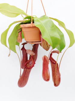 "Nepenthes ""Rob"""