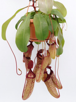 "Nepenthes ""Sam"""