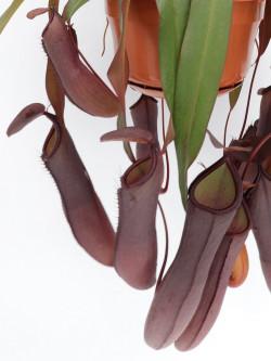 "Nepenthes ""sanguinea"""
