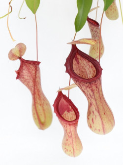 "Nepenthes ""Ventricosa Madja..."