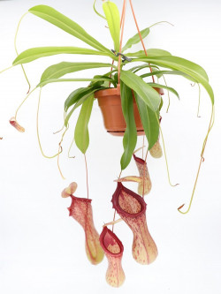 "Nepenthes ""Ventricosa Madja - AS"""
