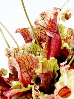 "PV1 GC   Sarracenia purpurea ssp. venosa "" Giant """
