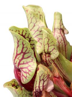 Sarracenia purpurea ssp. venosa var. montana  RVL