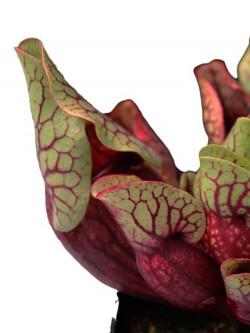 """PV3 GC  Sarracenia purpurea ssp. venosa var. montana """"Red"""""""