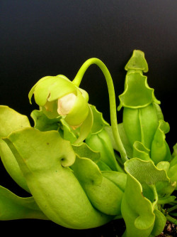 Sarracenia purpurea ssp. venosa f. heterophylla