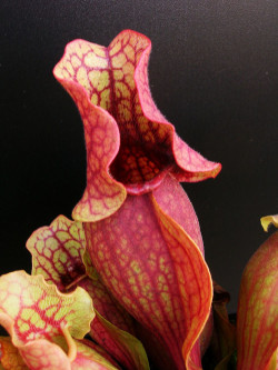 Sarracenia rosea  Walton County