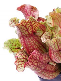 Sarracenia rosea   S5LK4 BCP