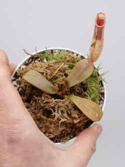 Nepenthes veitchii  yellow / brown peristome