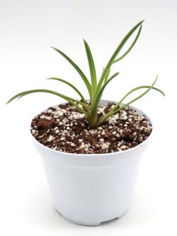 Brocchinia reducta  Akopan tepui