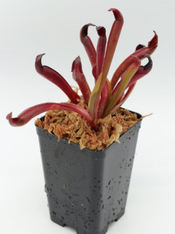 Heliamphora arenicola x ceracea