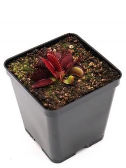 Dionaea muscipula ' SD Kronos '