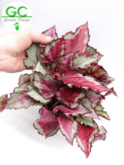 "Begonia blad  Magic colours ""Pink"""