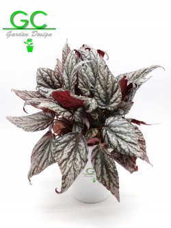 "Begonia blad  Magic colours ""Variegata"""