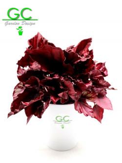 "Begonia blad  Magic colours ""super red"""