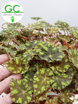 "Begonia blad  Magic colours ""tiger"""