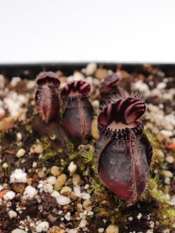 """Cephalotus follicularis """"Very dark form"""" Clone 04"""