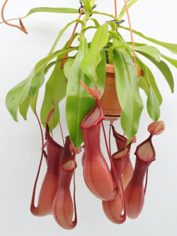 "Nepenthes x ""Ventrata"""