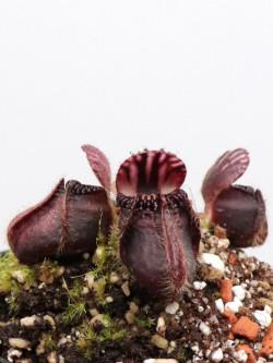 """Cephalotus follicularis """"Very dark form"""" Clone 14"""