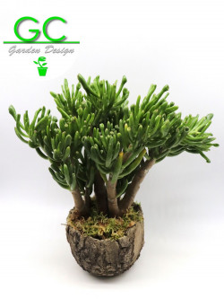 Crassula Hobbit in vaso meteorite