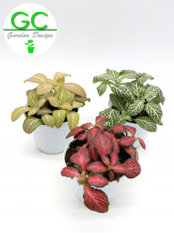 Fittonia  3 plants with different colours