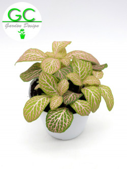 "Fittonia ""pink"""