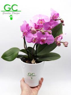 """Orchid LARGE SIZE pink flower """"BIG FLOWER"""" 2 flower stalk"""