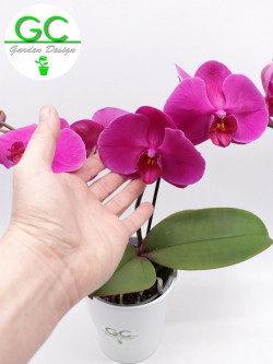 "Orchid purple flower ""BIG FLOWER"" 2 flowering stalk"
