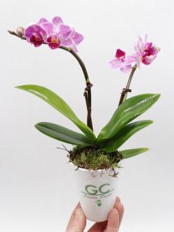 Orchidea a fiore viola - Small size con 2 scapi floreali