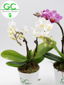 Orchidea white flower - Small size con 2 flowering stalk