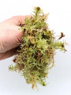 Live sfagnum (Sphagnum squarrosum)