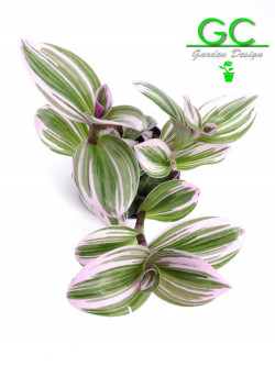"""Tradescantia albiflora """"Nanouk"""""""