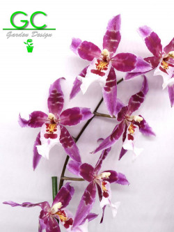 "Orchidea Cambria ""Purple flower"""