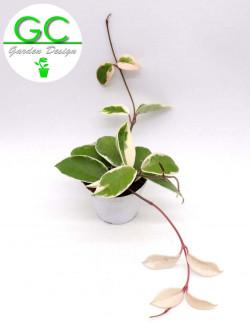 Hoya carnosa variegata - fiore di cera
