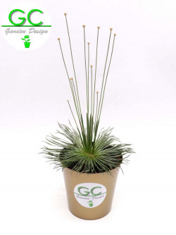 "Syngonanthus Chrysanthus "" Mikado """