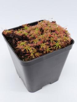 Drosera erycksoniae x pulchella