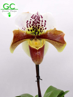 ORCHIDEA PAPHIOPEDILUM XL