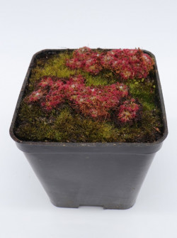 Drosera sp. carbarup