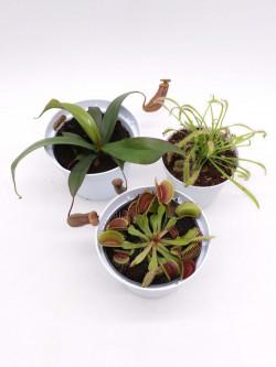 Tris carnivoro Nepenthes Rebecca soper