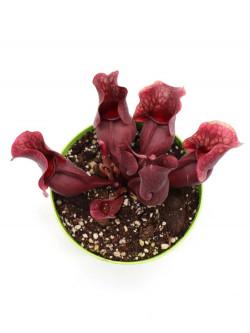 """Sarracenia purpurea ssp venosa """"All red"""""""