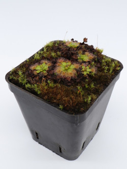Drosera pulchella , purple flower