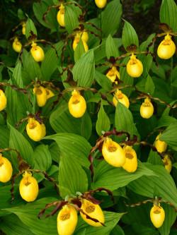 "Cypripedium ""Yellow Flower"" - Orchidea da esterno"