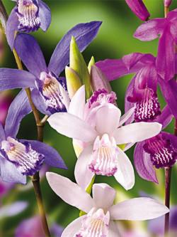 Bletilla - Orchidea da esterno