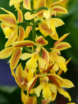 Calanthe - Hardy Orchid